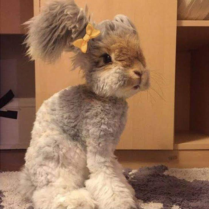 Стрижка цього кролика вийшла не надто вдалою