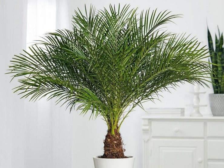 Таку пальму можна виростити з кісточки