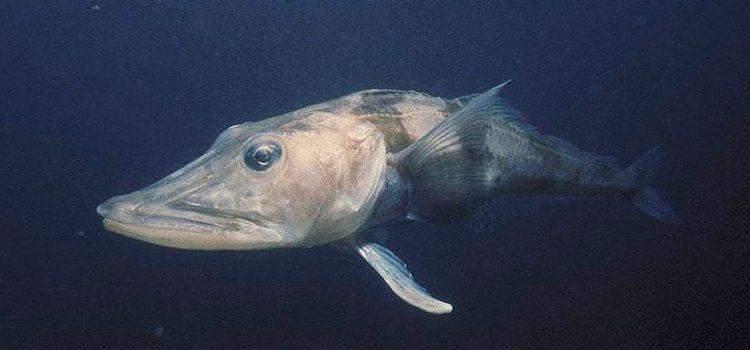 Білокровна риба є унікальною