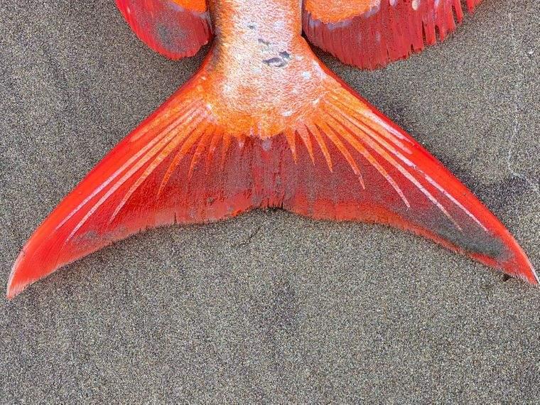 Тело рыбы покрыто разноцветной чешуей