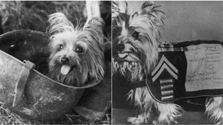 Смокі крихітна собака, що стала героїнею війни