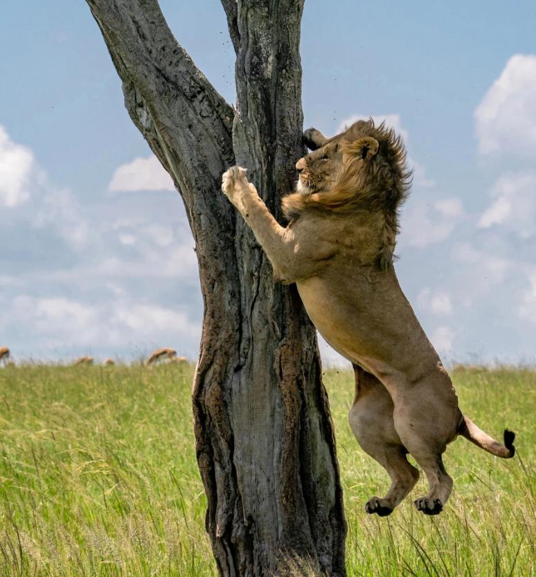 Лев на дереві