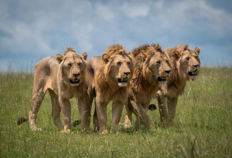 Зграя левів