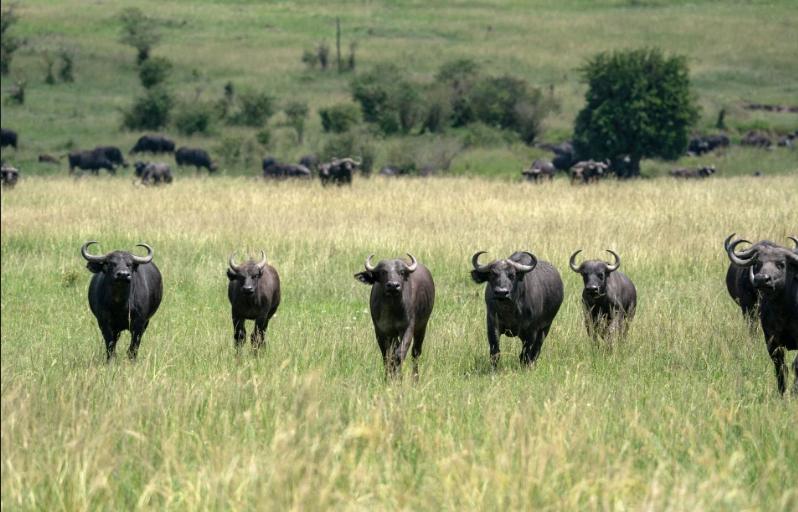 Стадо буйволів кинулося на левів
