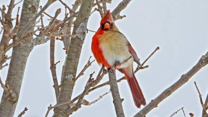 Птах, який має дві статі – рідкісне явище