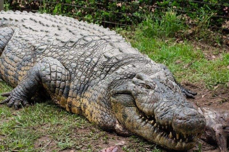 Найстаріший крокодил