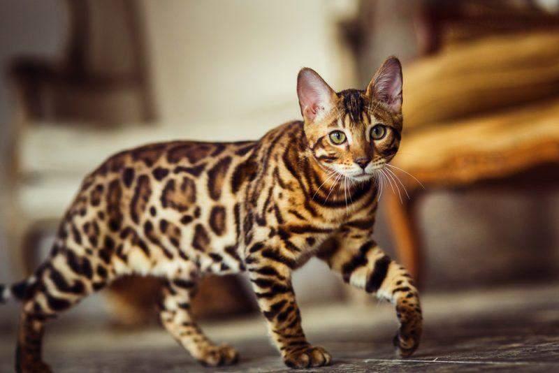 Бенгальські коти мають унікальне забарвлення