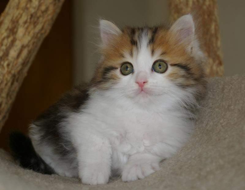 Порода рагамаффин: характеристика и описание породы кошек