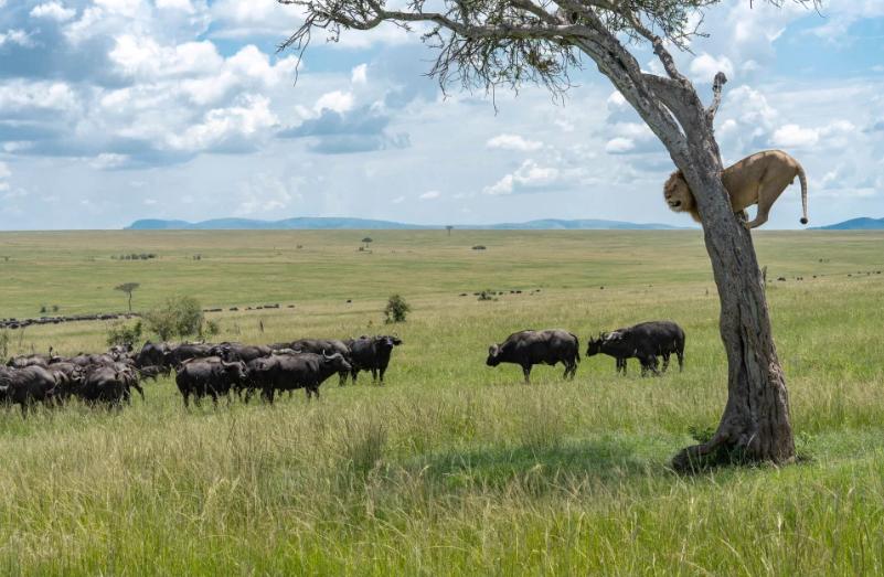Лев і буйволи