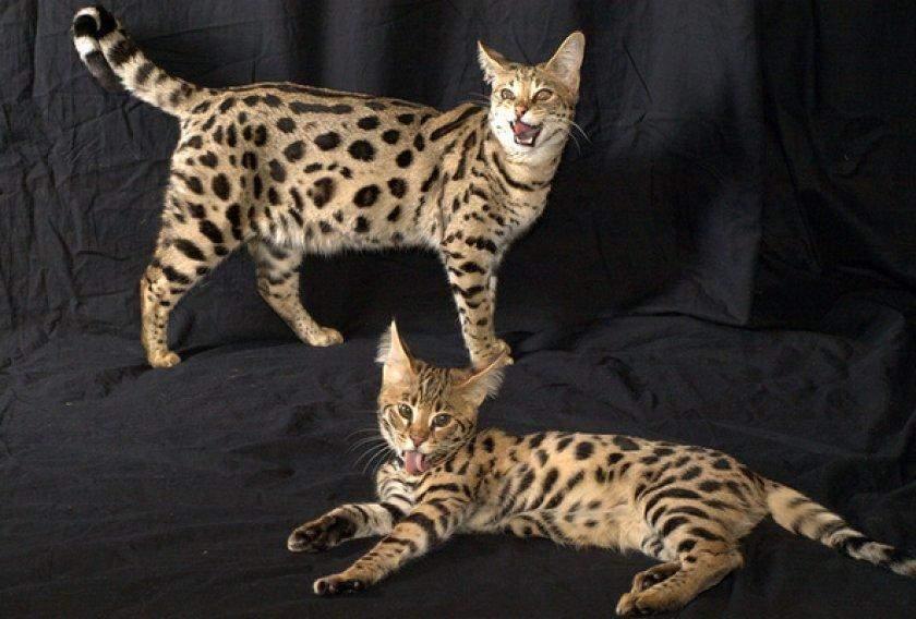 Найдорожча порода кішок у світі