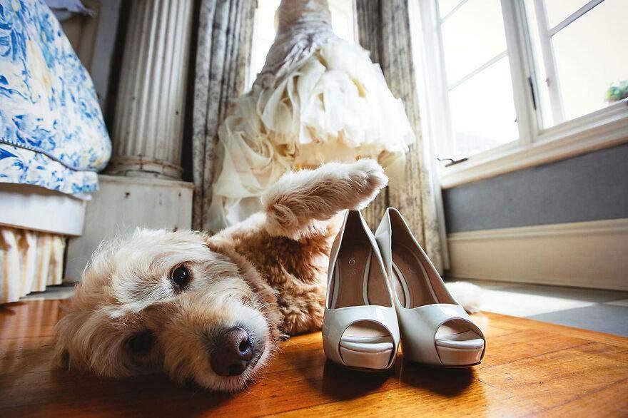 Цьому песику дуже подобається весільний одяг його господині