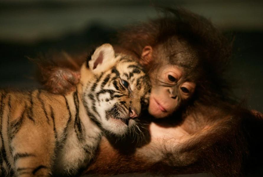 Суматранский тигренок подружилося с пятимесячным орангутангом в ветеринарной клинике в Индонезии