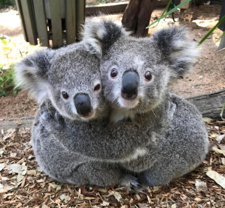 Эти 2 коалы из парка рептилий в Австралии выглядят неразлучными