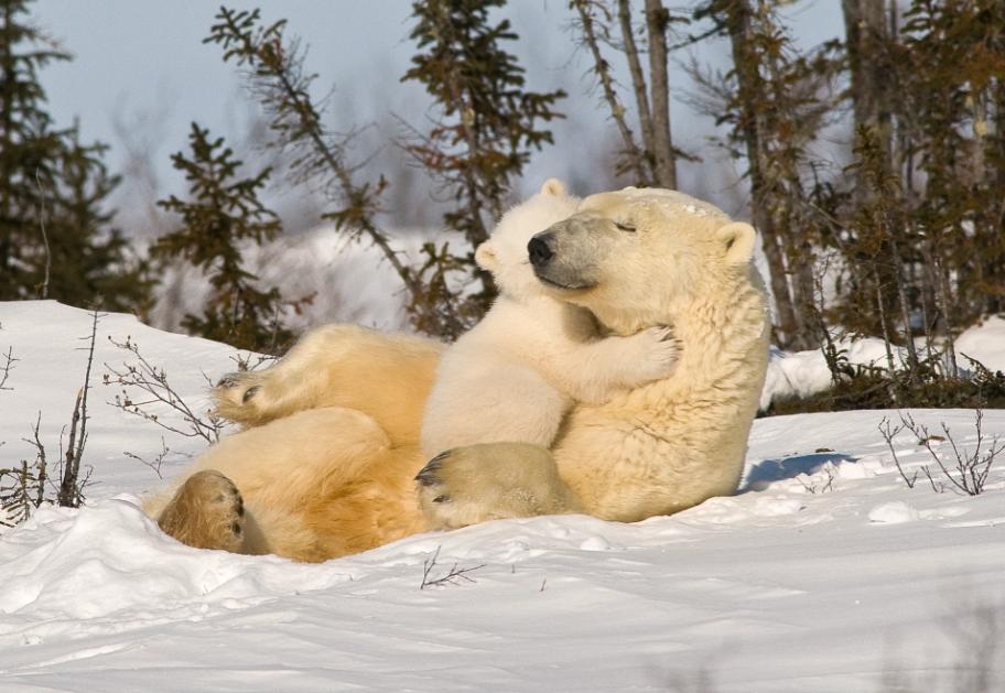 Белая медведица и ее детеныш