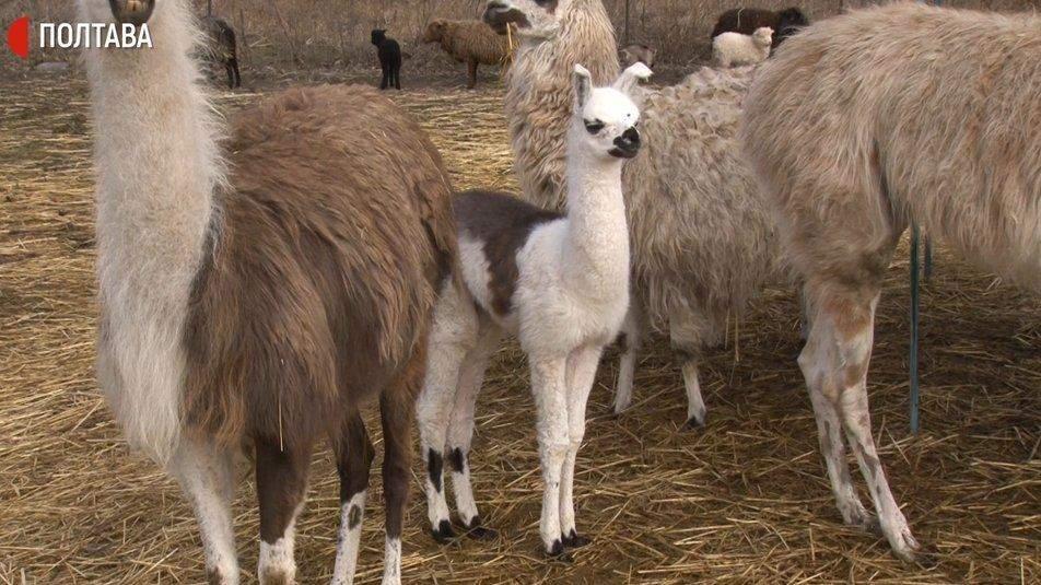 Новонароджена лама разом з дорослими тваринами
