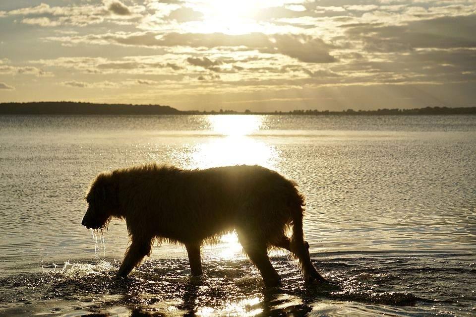 Собаки цієї породи спокійні та врівноважені
