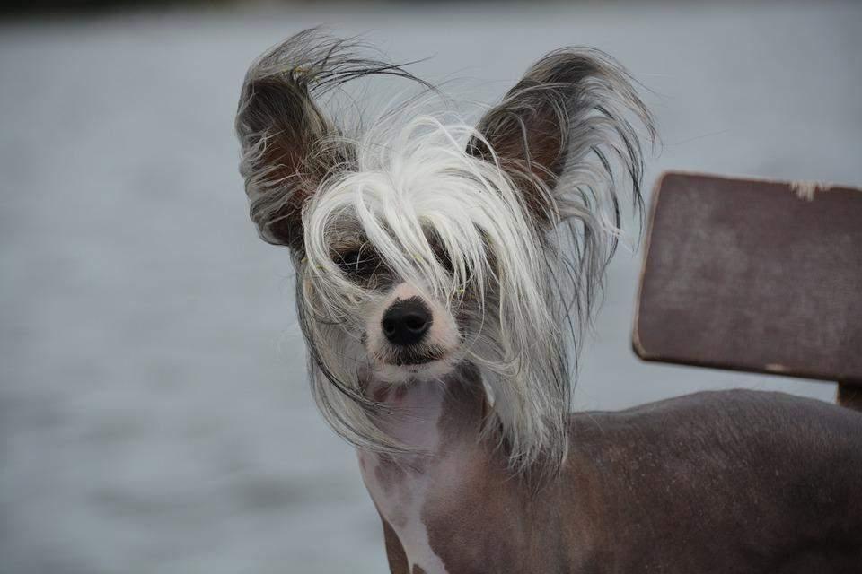 Китайський чубатий собака