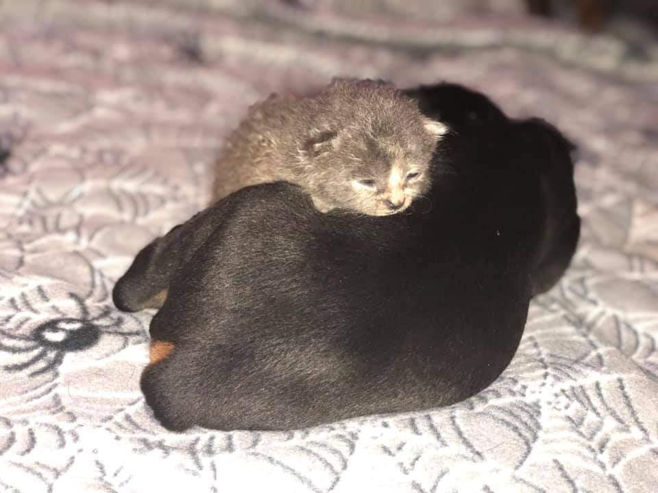 Доберман всиновив кошеня
