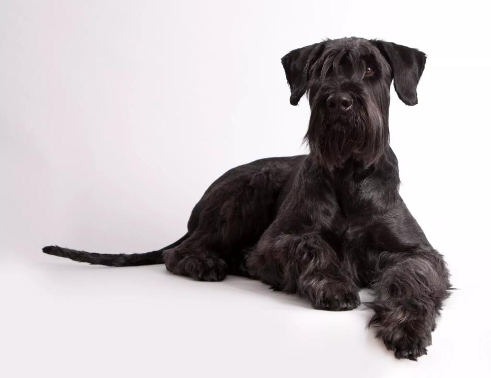 Собака породи різеншнауцер